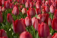 Tulips. Flowering red tulips in flowerbed Stock Photos