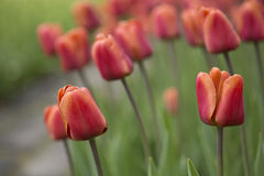 Tulips. Flowering red tulips in flowerbed Royalty Free Stock Photo