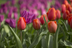 Tulips. Flowering red and purple tulips in flowerbed Royalty Free Stock Images