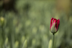 Tulips. Flowering red tulip against green background Royalty Free Stock Photography