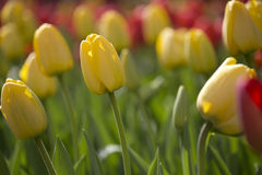 Tulips. Flowering yellow tulips in flowerbed Stock Photos