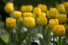 Tulips. Flowering yellow tulips in flowerbed Royalty Free Stock Photography