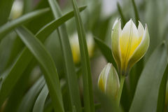 Tulips. Flowering yellow tulip against green background Royalty Free Stock Photo