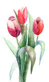 Tulips flowers Stock Images