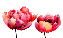 Tulips flowers. Red Tulips flowers, watercolor illustration Stock Images