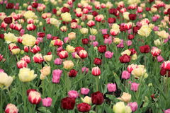 Tulips flowers background Stock Photography