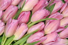 Tulips flowers background in spring or mothers day. Pink tulips flowers background in spring or mothers day Royalty Free Stock Images