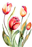 Tulips flowers. Beautiful Tulips flowers, Watercolor painting Royalty Free Stock Images