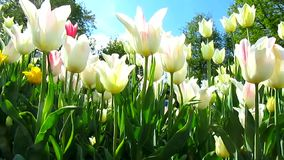 Tulips flowers stock video footage