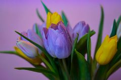 Tulips flowers bouquet pink background close-up. Tulips flowers bouquet close-up light pink background spring multicolors Stock Images