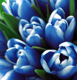 Tulips flowers. Bouquets of white-blue tulips.  Spring background with flowers tulips.  Closeup. Royalty Free Stock Photography