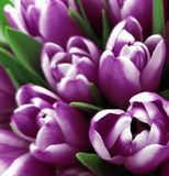 Tulips flowers. Bouquets of white-violet  tulips.  Spring background with flowers tulips.  Closeup. Royalty Free Stock Images