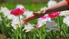 Tulips flowers caressed by woman hand stock video