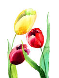 Tulips flowers. Colorful Tulips flowers, Watercolor painting Stock Image