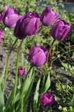 TULIPS FLOWERS Stock Photo