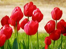 Tulips flowers design macro with texture Stock Images