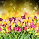 Tulips flowers on fesrive background Royalty Free Stock Photo