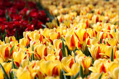 Tulips Flowers Field Stock Photo