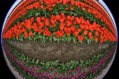 Tulips, Flowers, Fish Eye, Red Stock Image