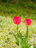 Tulips. Flowers in the flied Royalty Free Stock Photos