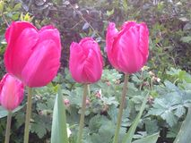 Tulips flowers Royalty Free Stock Photos