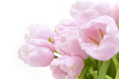 Tulips flowers  / horizontal with copyspace Royalty Free Stock Image