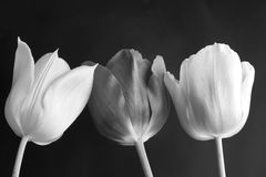 Tulips Flowers In Black And White Royalty Free Stock Photo