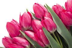 Tulips Flowers Isolated on White Background Stock Image