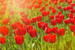 Tulips flowers. Many fresh red tulips in urban park. Stock Photos