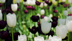 Tulips flowers and nature landscape. Tulips flowers. Beautiful spring flowering and nature landscape stock video