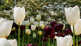 Tulips flowers and nature landscape. Tulips flowers. Beautiful spring flowering and nature landscape stock video footage