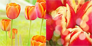 Tulips Flowers . Royalty Free Stock Photography