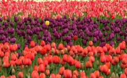 Tulips, Flowers, Red, Purple Royalty Free Stock Photo