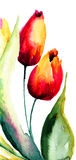 Tulips flowers. Red Tulips flowers, Watercolor painting Stock Photos