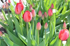 Tulips flowers spring bloom in the garden.  Stock Images