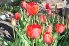 Tulips flowers spring bloom in the garden.  Royalty Free Stock Photo