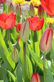 Tulips flowers spring bloom in the garden.  Royalty Free Stock Photography