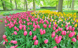 Tulips flowers in spring time Stock Images