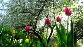 Tulips flowers and trees blossom stock video footage
