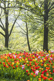 Tulips flowers and trees Royalty Free Stock Photography