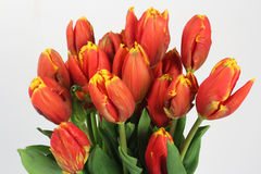 Tulips flowers on the white background Royalty Free Stock Photo