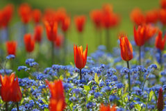 Tulips and forget-me-not Royalty Free Stock Images