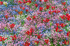 Tulips and Forget-me-nots. Red tulips with forget-me-nots in various colours blooming at the flower garden in Greenwich park of London, UK royalty free stock photo