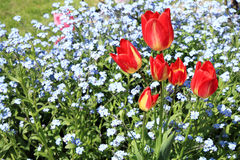 Tulips and  forget-me-nots Stock Photos