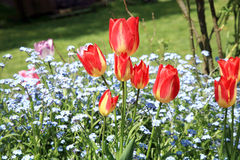 Tulips and  forget-me-nots Stock Images