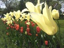 Tulips forming row. Flower garden dutch summer Royalty Free Stock Photos