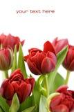 Tulips frescos Foto de Stock