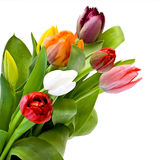 tulips frescos Fotos de Stock Royalty Free
