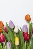 Tulips frescos no fundo branco Imagens de Stock