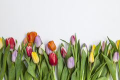 Tulips frescos no fundo branco Fotografia de Stock Royalty Free